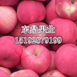 最新红富士苹果供应价格、红富士苹果经销商图片