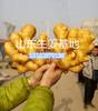 全国生姜价格走势预测最新黄姜、面姜、小黄姜、生姜价格