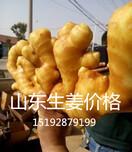 贵州惠水生姜价格行情最新黄姜、面姜、小黄姜、生姜价格图片
