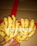 大姜价格百度百度最新黄姜、面姜、小黄姜、生姜价格图片