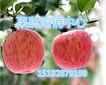 本溪苹果产地供应、最新红富士苹果价格
