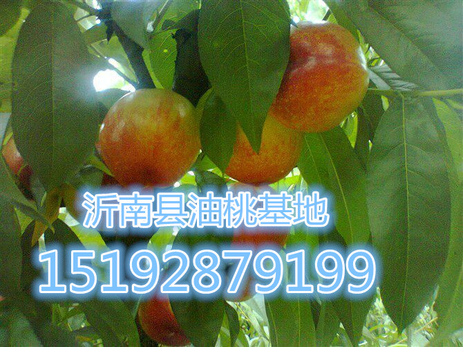 濮阳市大量  早生、大红袍价格
