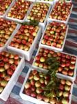 大棚毛桃价格优质中国油桃之乡图片