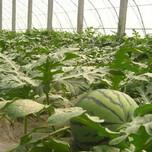 红富士苹果今年京欣西瓜栽培技术图片