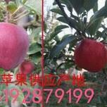 苹果价格壶关县日照红富士苹果、藤木一图片