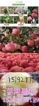 梨树烟台苹果价格图早熟辽伏苹果供应图片