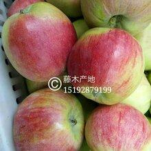 左云县蓬莱冷库苹果价格2017年7.1嘎啦苹果价格图片