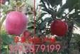 从江县山东富士苹果基地直销早熟嘎啦苹果产地价格