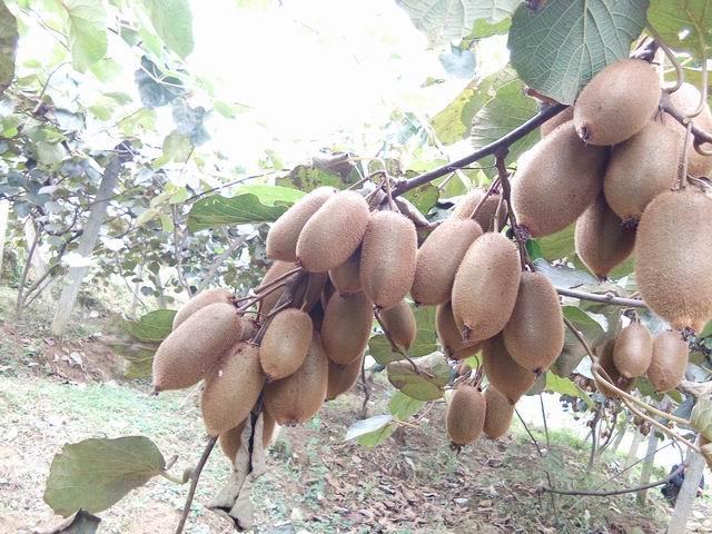 【湘西猕猴桃】-湘西猕猴桃价格