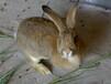 全国肉兔种兔价格一只杂交野兔多少钱