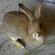 杂交野兔价格