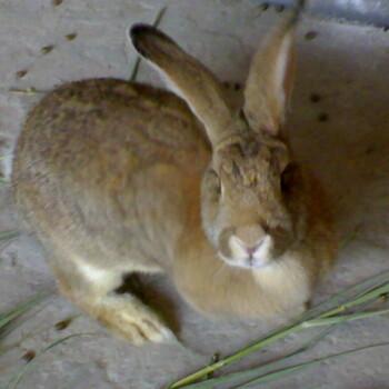 山东大型肉兔养殖场肉兔种兔多少钱一只