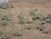山东杂交野兔多少钱一只杂交野兔果园里散养技术