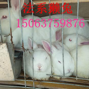 山东獭兔最新价格獭兔种兔多少钱一只
