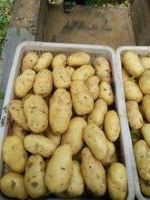 山東土豆產地/批發土豆今年價格行情圖片
