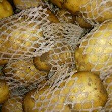 山東冷庫土豆大量出售圖片