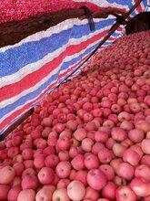 山东苹果价格/现在红富士价格多少