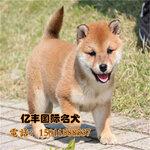 纯种日系柴犬多少钱一只赛级柴犬出售柴犬犬舍直销