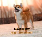 北京纯种柴犬幼犬出售日系柴犬哪里卖柴犬犬舍
