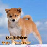 赛系日系柴犬哪里卖柴犬价格柴犬犬舍直销
