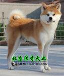 纯种日系秋田犬出售赛系秋田价格秋田图片北京秋田养殖基地