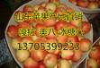 大量早熟陕西苹果生产基地有哪些?陕西苹果批发价格哪里好?
