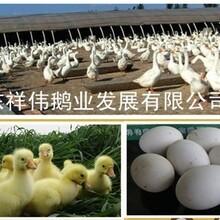 郓城县高庄鹅苗孵化场大种鹅苗孵化代育雏服务图片