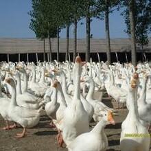 大种鹅苗孵化成鹅回收代育雏脱温服务图片