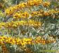 张军苗圃出售沙棘苗木,大果沙棘苗,大果沙棘苗木。