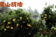 浙江常山胡柚农家新鲜小柚子水果清热去火润肺止咳
