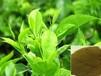 茶多糖价格天然提取甜味剂食品级茶多糖生产厂家