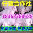 仔猪繁育中心常年供应优种补栏猪苗仔猪批发价格哪里便宜图片
