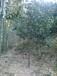 供应4公分树径桂花树苗行道树