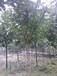 供应常绿桂花树苗5公分树径欢迎来电咨询