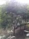 新宁行道树10公分树径桂花树出售