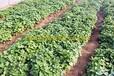 河南脱毒红薯苗繁育基地濮阳清丰现代农业地瓜苗徐薯22