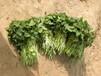 河南红薯苗培育基地高产西农431脱毒地瓜苗