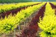 大量供应裸根金叶榆1-2米高价格优惠保质保量