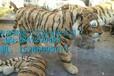 仿真老虎制作,动物标本修复