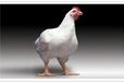 冬春季节交替,肉鸡该如何管理?