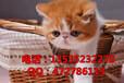 家庭繁殖纯种加菲猫一字大扁脸体型肥大健康活泼