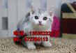 幸运出售美国短毛猫纯种家庭式喂养