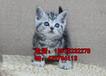 短毛猫出售英短美短猫小院专业猫咪活体零售