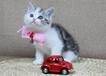 傲娇萌猫出售蓝猫美短英短渐层折耳等各名猫