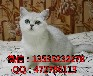 出售纯种英短银渐层,超粘人可爱短毛猫咪,品相漂亮