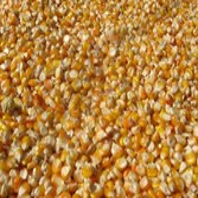 长期收购粮食玉米的老板图片