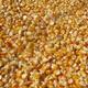 玉米图片小