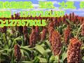 运城收购玉米的实力商家民发大量收购图片