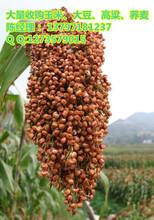 哪里收购玉米价格高图片