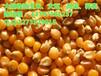 哪里大量收购玉米大豆高粱